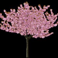 Japanese Spring Blossom Flower Transparent PNG